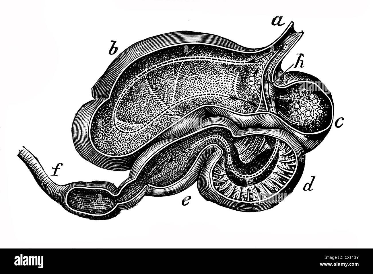 Berühmt Kuh Magen Anatomie Bilder - Menschliche Anatomie Bilder ...