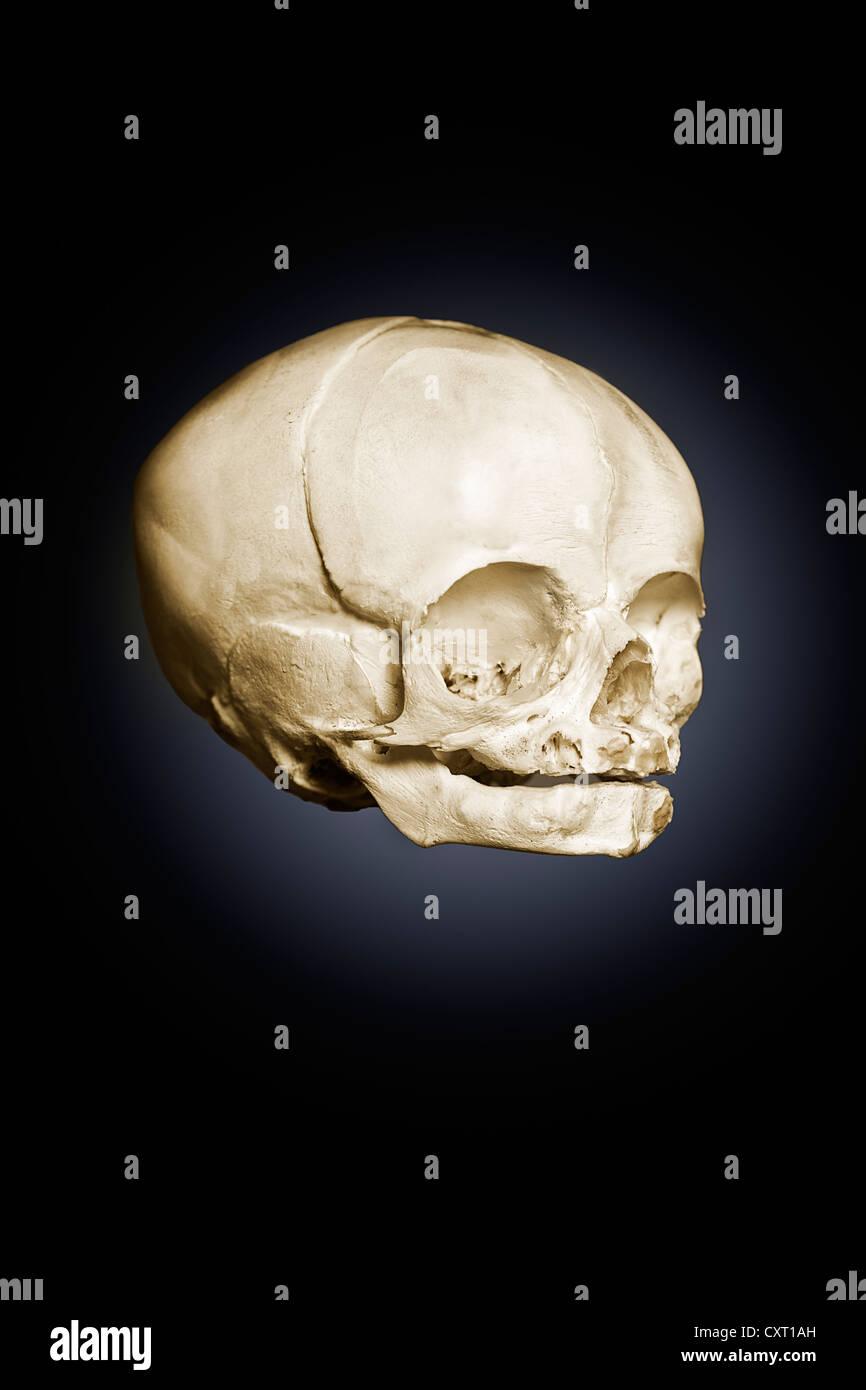 Wunderbar Säugling Schädelanatomie Fotos - Anatomie Von Menschlichen ...