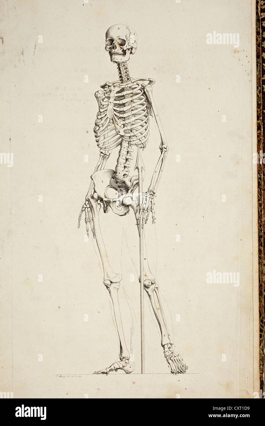 Atemberaubend Bilder Des Menschlichen Skeletts Für Kinder Ideen ...