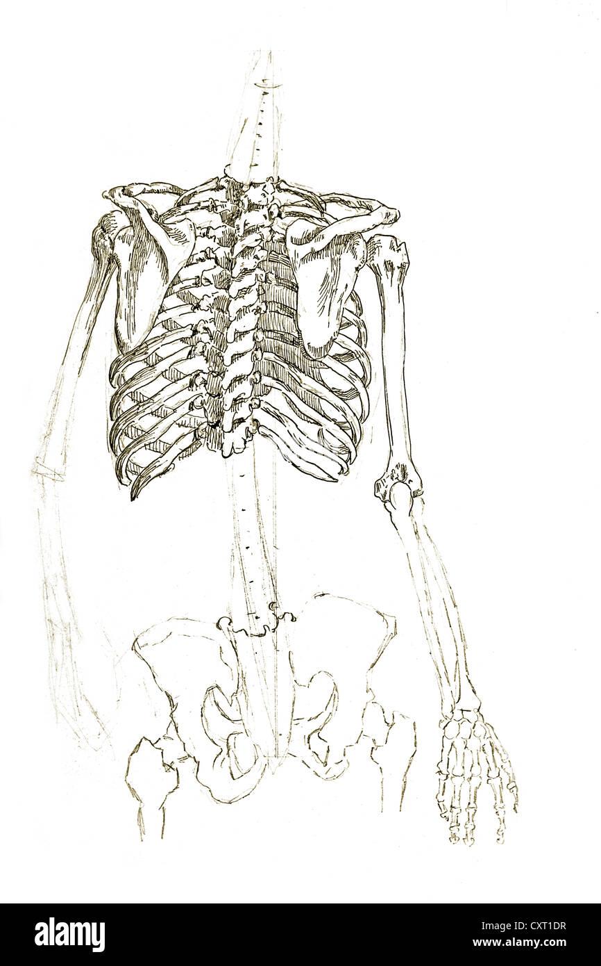 Menschlichen Brustkorb, anatomische Abbildung Stockfoto, Bild ...