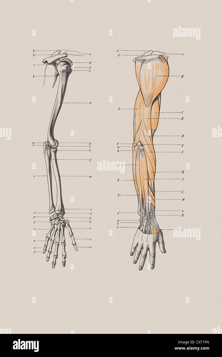 Skelett eines menschlichen Arms, anatomische Abbildung Stockfoto ...