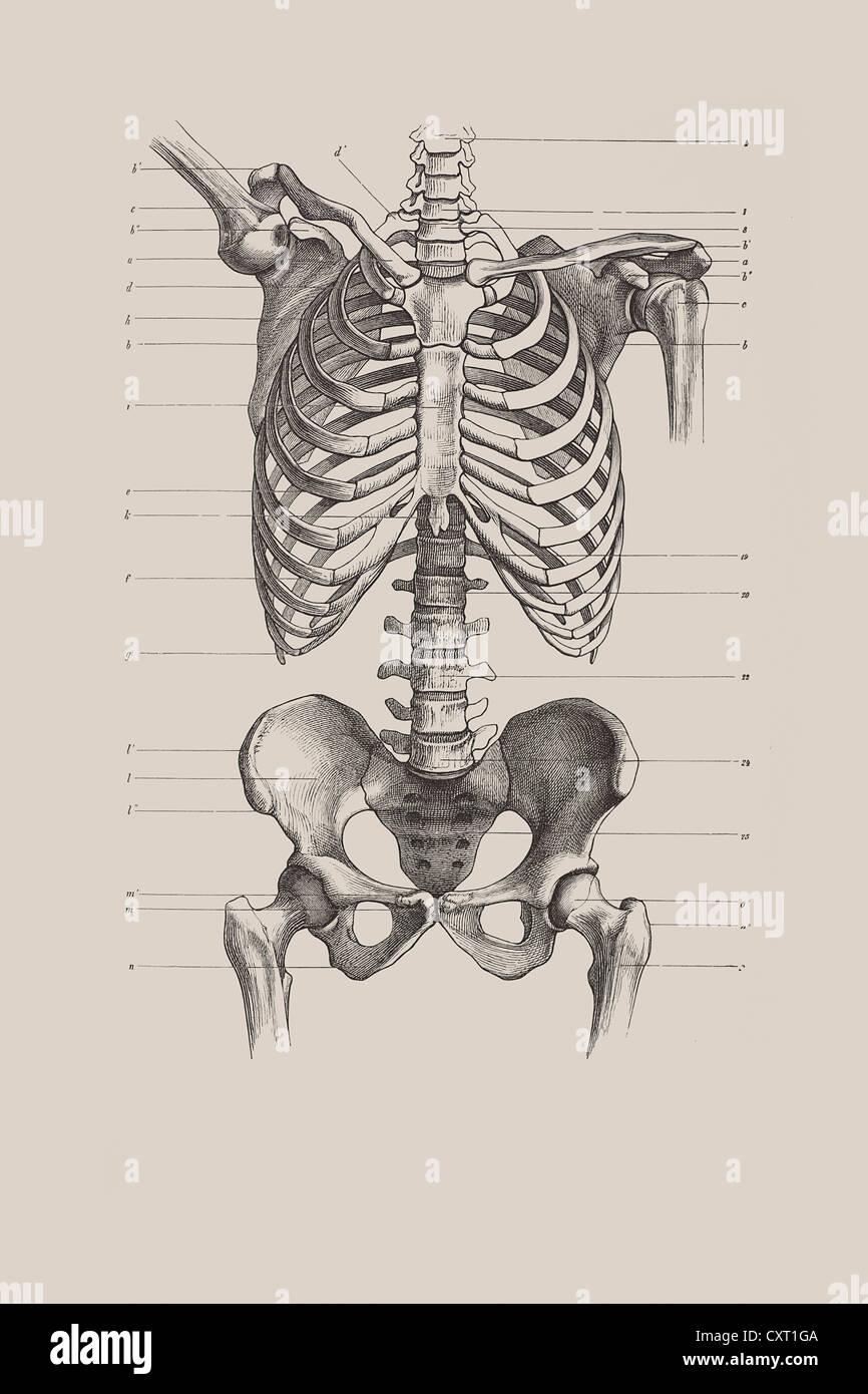 Skelett Torso, anatomische Abbildung Stockfoto, Bild: 50929882 - Alamy