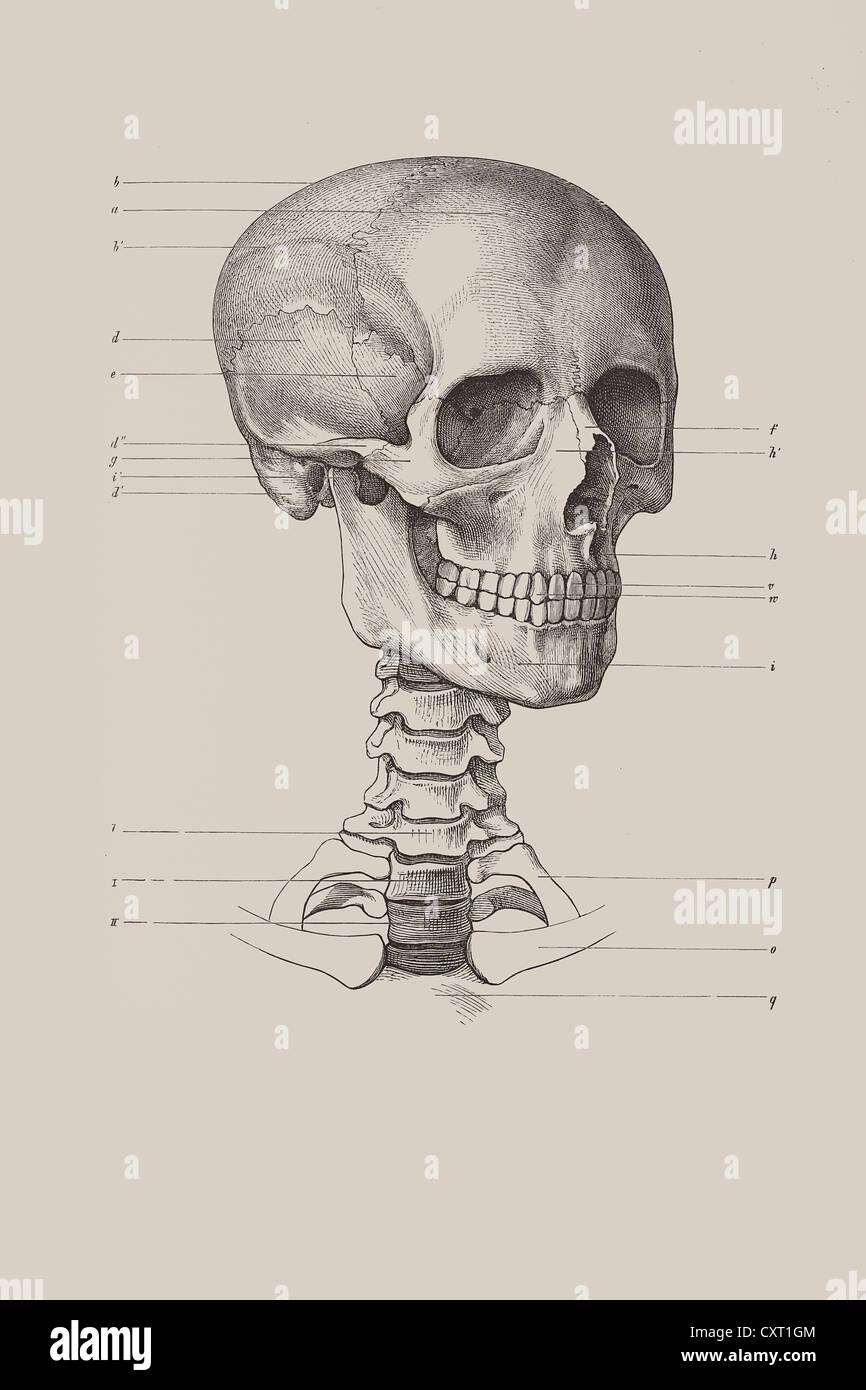 Cranial Bones Stockfotos & Cranial Bones Bilder - Alamy