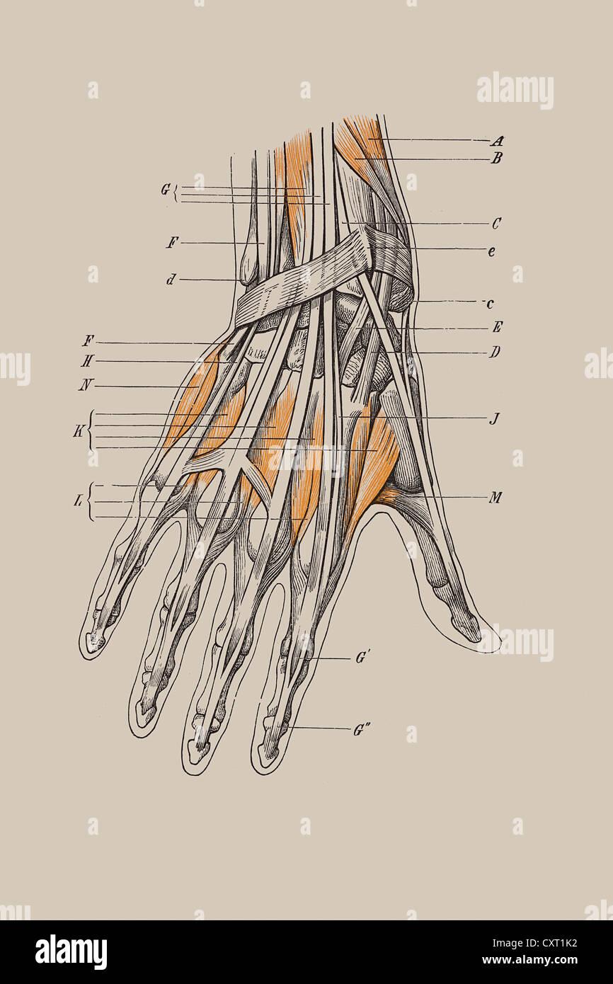 Anatomie der Hand, historischen Holzschnitt Stockfoto, Bild ...