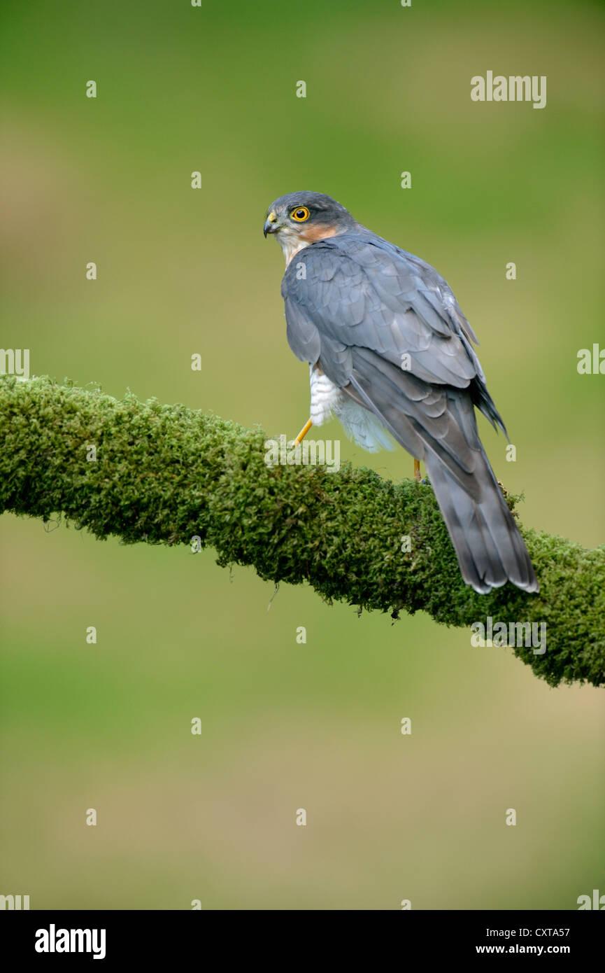 Sperber (Accipiter Nisus) Stockfoto