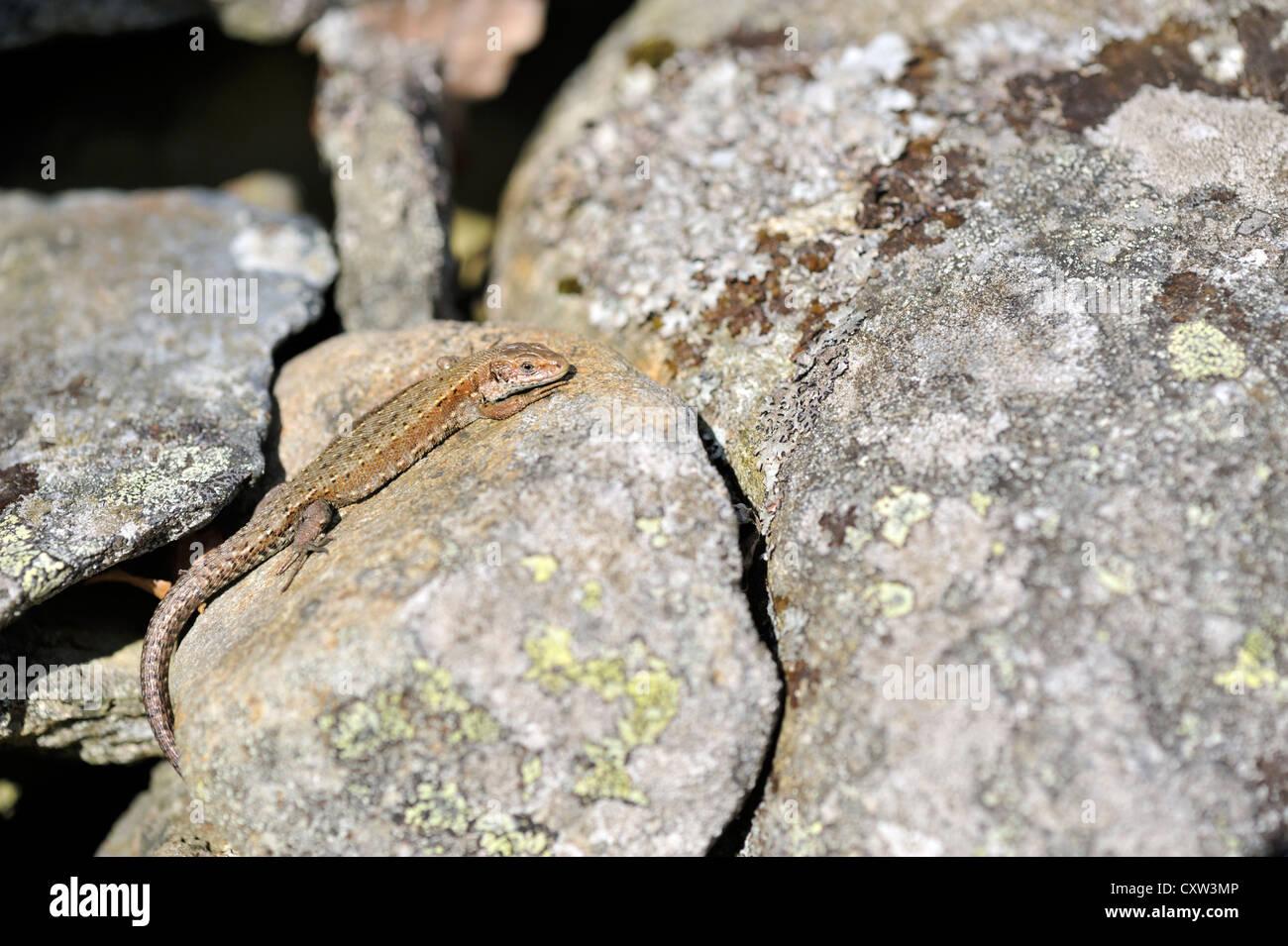 Gemeinen Eidechse (Lacerta Vivipara), auch bekannt als die vivipare Eidechse Stockfoto