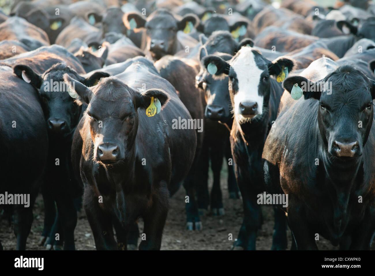 Herde Kühe tragen Tags in Ohren Stockbild