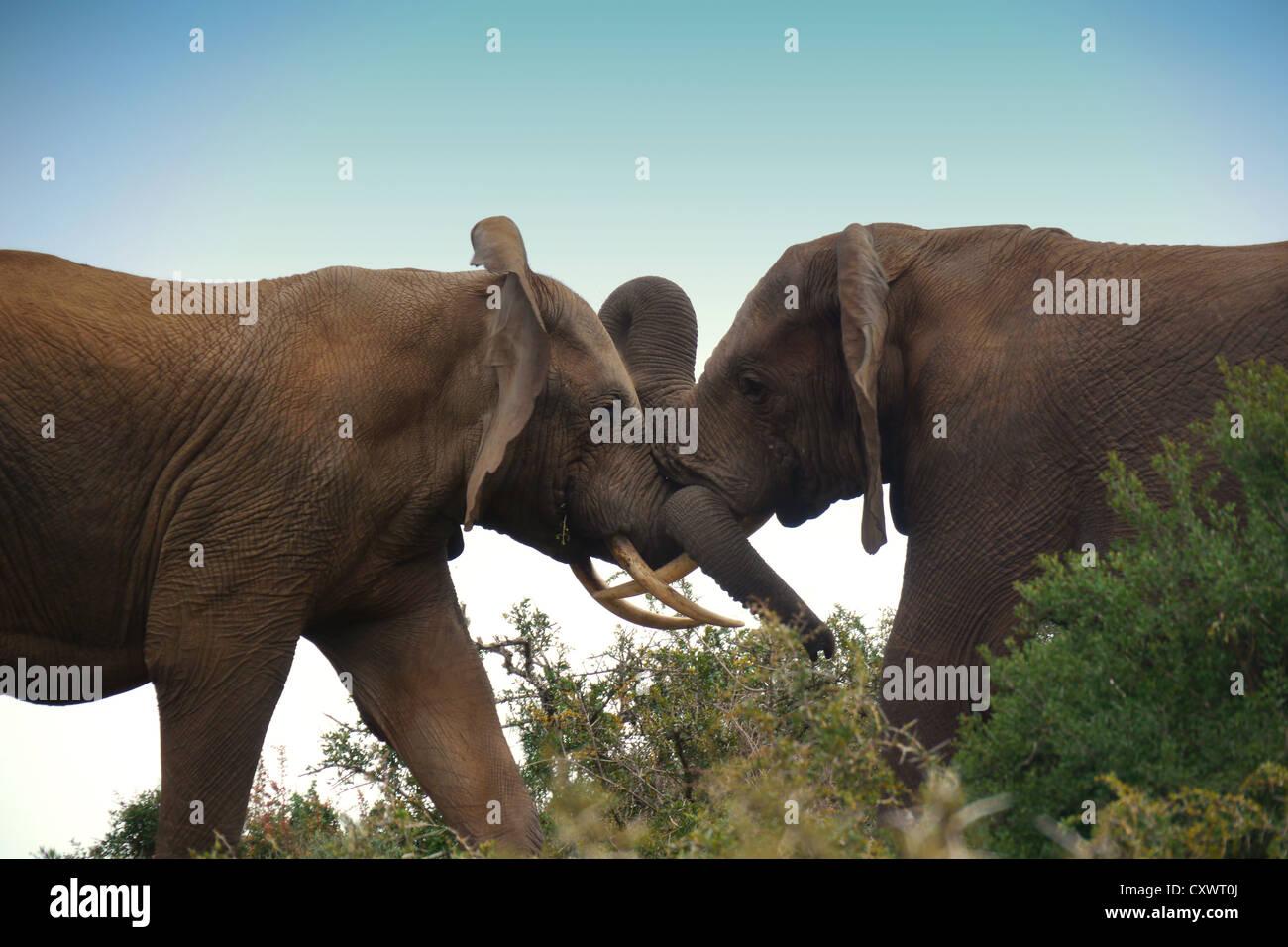 zwei Jugendliche Elefanten sperren Stoßzähne Stockbild