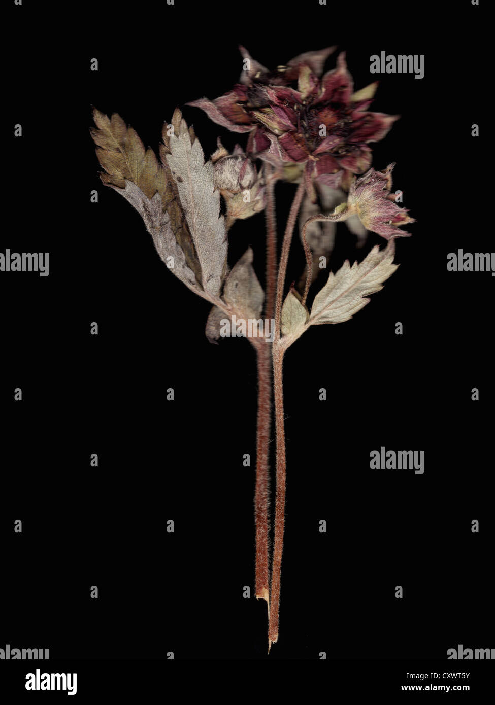 Nahaufnahme von getrockneten verwelkte Blume Stockbild