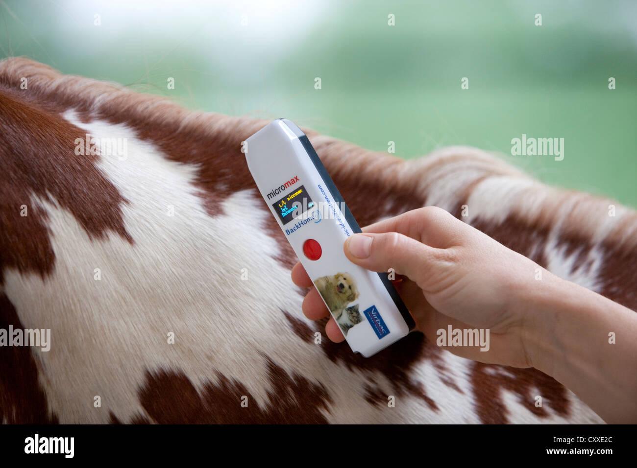 Lesung von Chip, gechipt Pferd und Chip Leser, Nord-Tirol, Österreich, Europa Stockbild