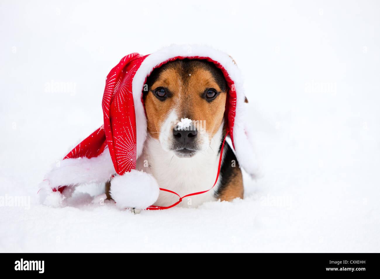 Jack Russell Terrier Mit Weihnachten Kappe Liegen Im Schnee Nord Tirol Osterreich Europa Stockfotografie Alamy