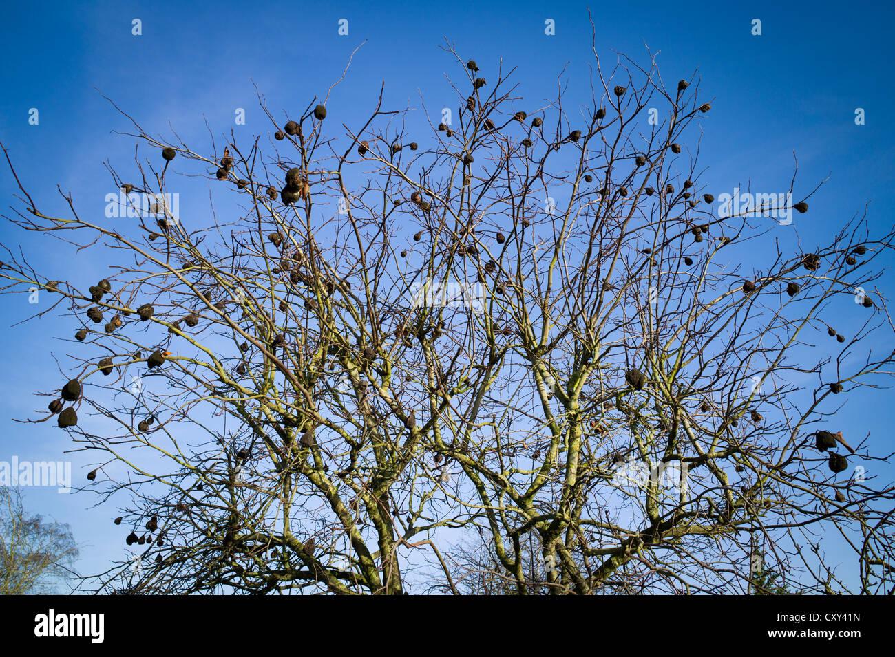 Getrocknete undurchsucht Früchte auf Quitte Baum im winter Stockbild