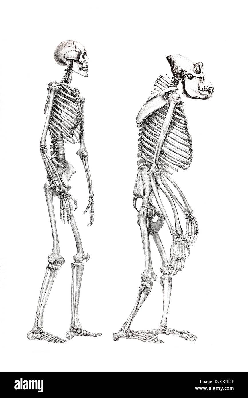 Atemberaubend Anatomie Und Physiologie Skelettsystem Galerie ...