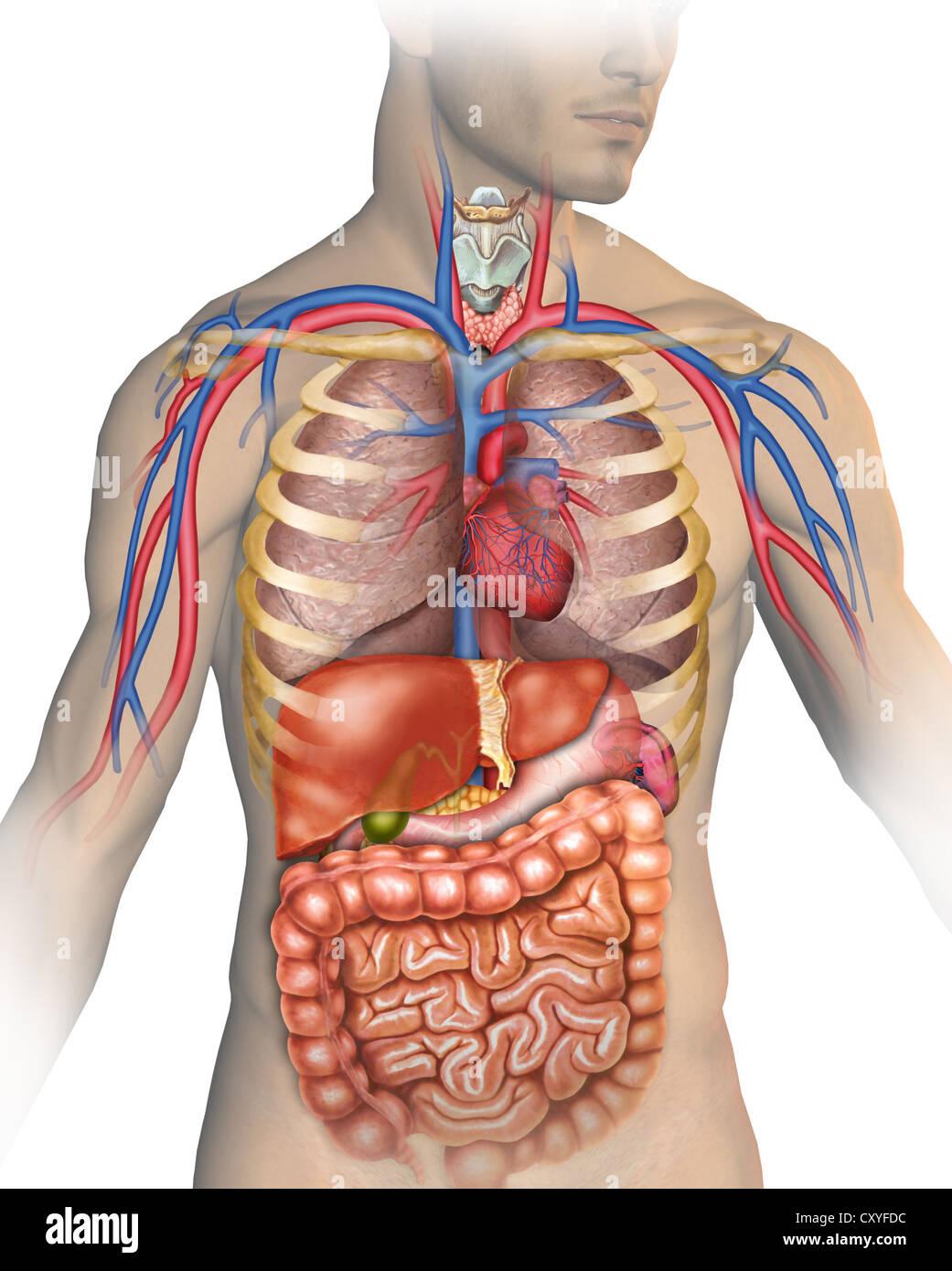 Anatomie des menschlichen Körpers mit verschiedenen Organen, aus ...