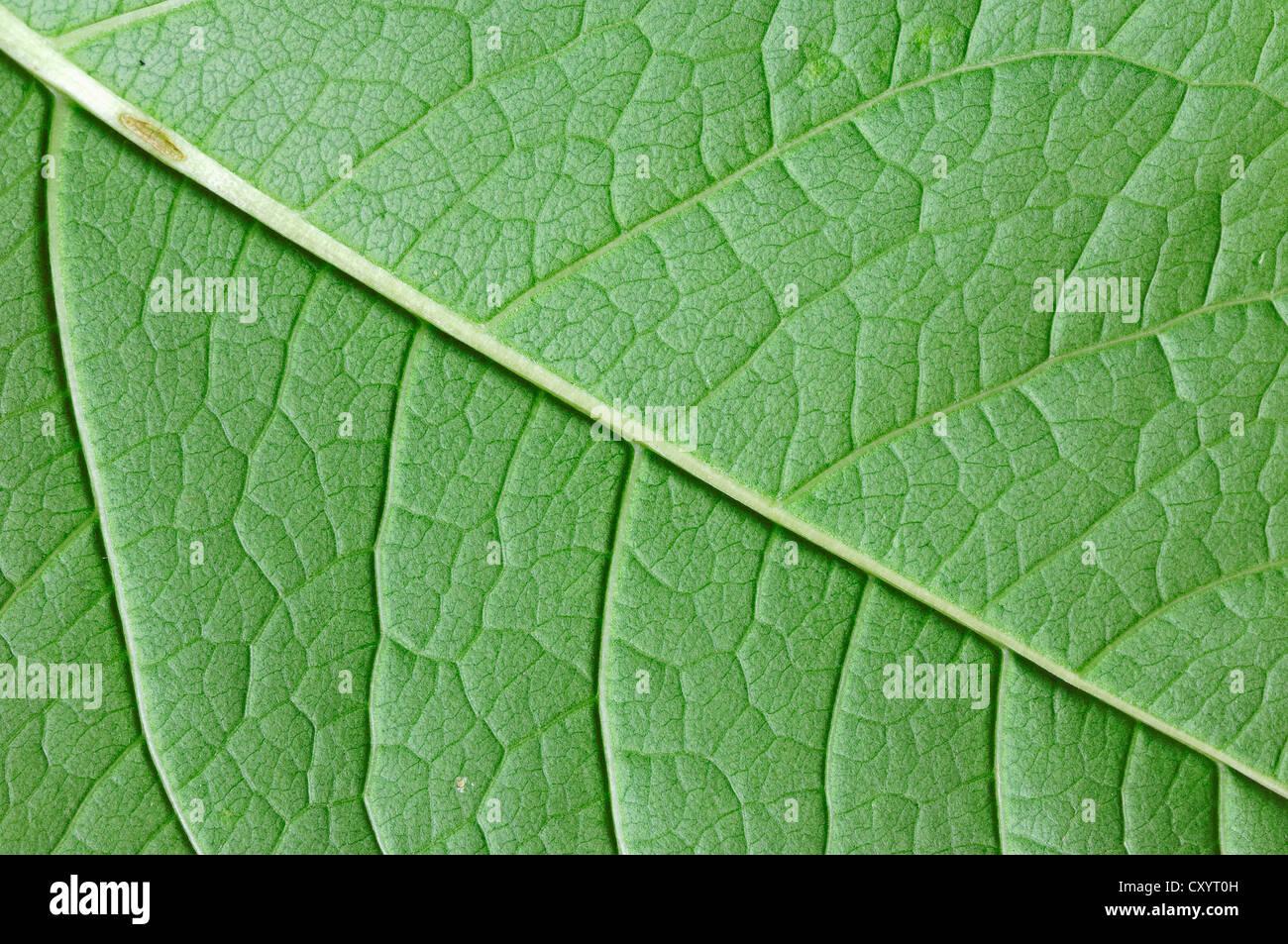 Gemeinsame Cogwood (Cornus sanguineaund), Detailansicht der Blätter, North Rhine-Westphalia Stockbild
