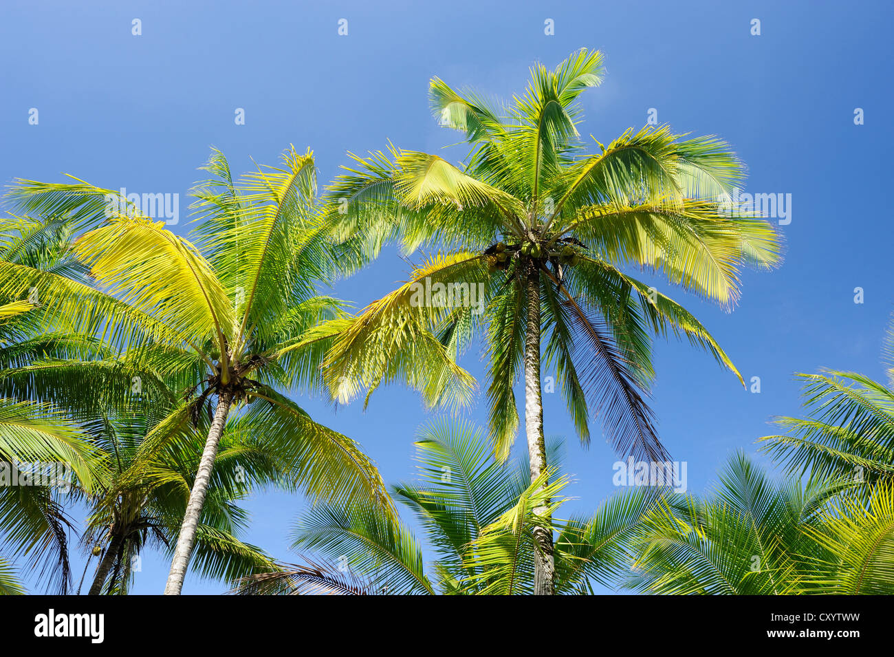 Kokospalmen (Cocos Nucifera) an die Pazifikküste, Costa Rica, Mittelamerika Stockbild