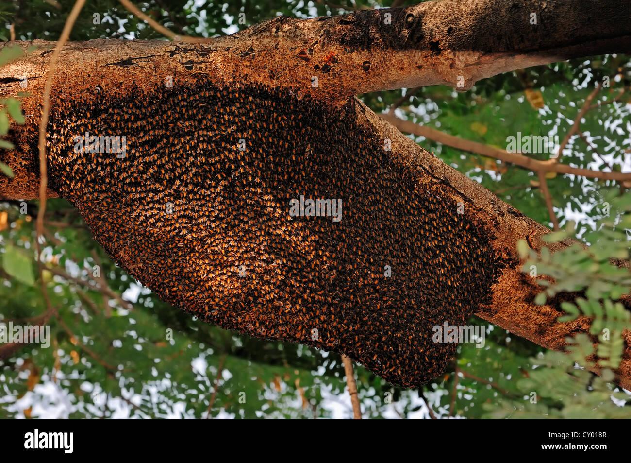 indian honeybee nest stockfotos indian honeybee nest bilder alamy. Black Bedroom Furniture Sets. Home Design Ideas
