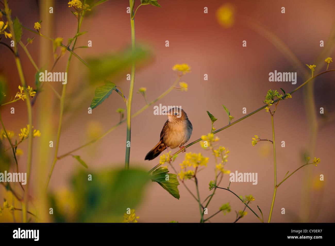 Grasshopper Warbler Locustella Naevia Norfolk Juni Stockbild