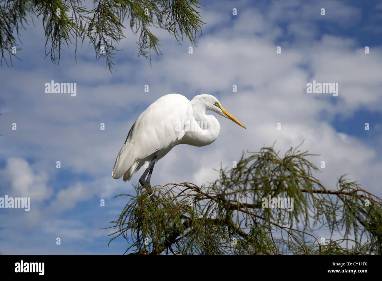 Silberreiher thront auf Baum verzweigen Orlando Florida Usa Stockbild