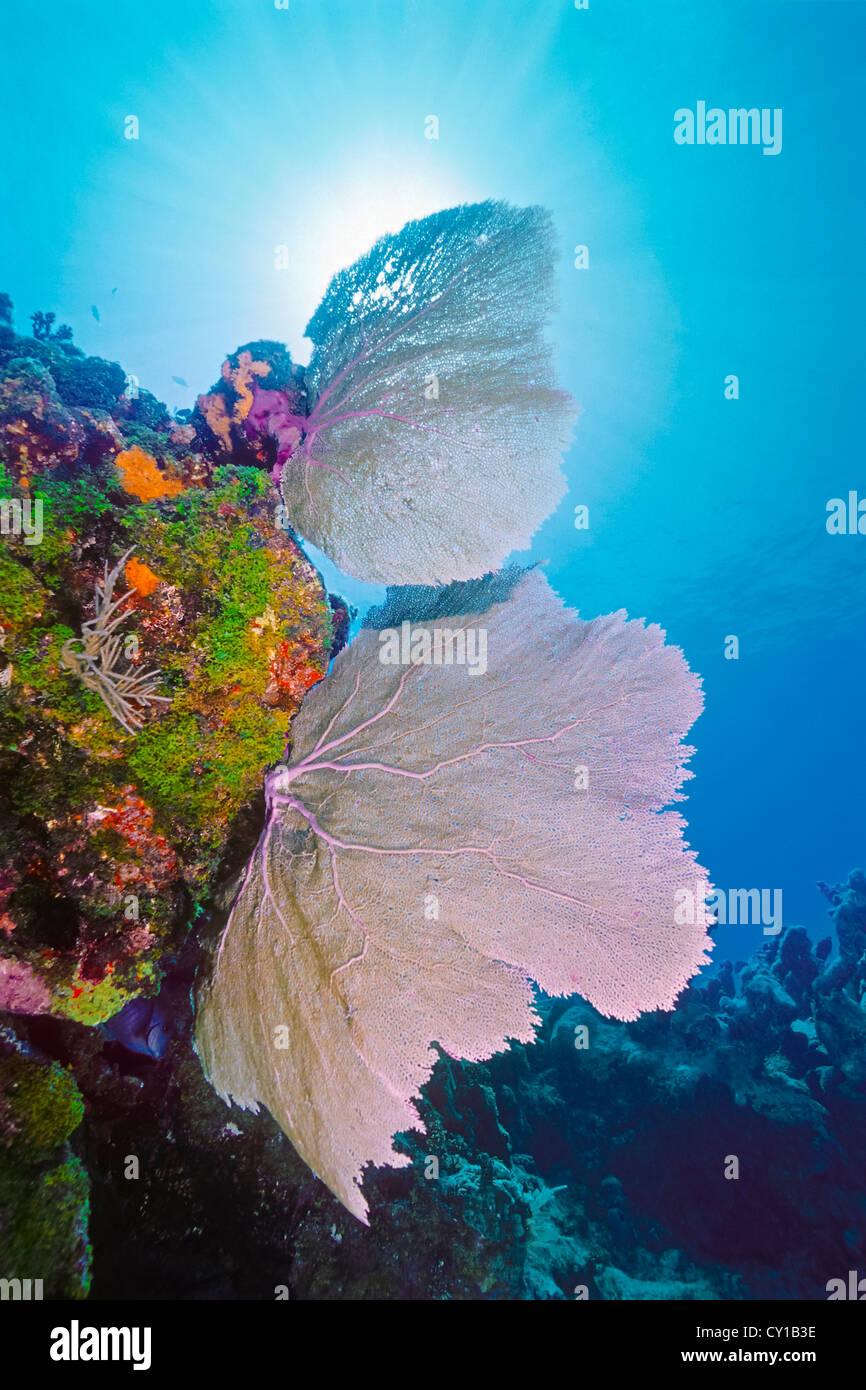 Gorgonien auf Korallenriff, Gorgonia SP., Islamorada, Florida Keys, USA Stockbild