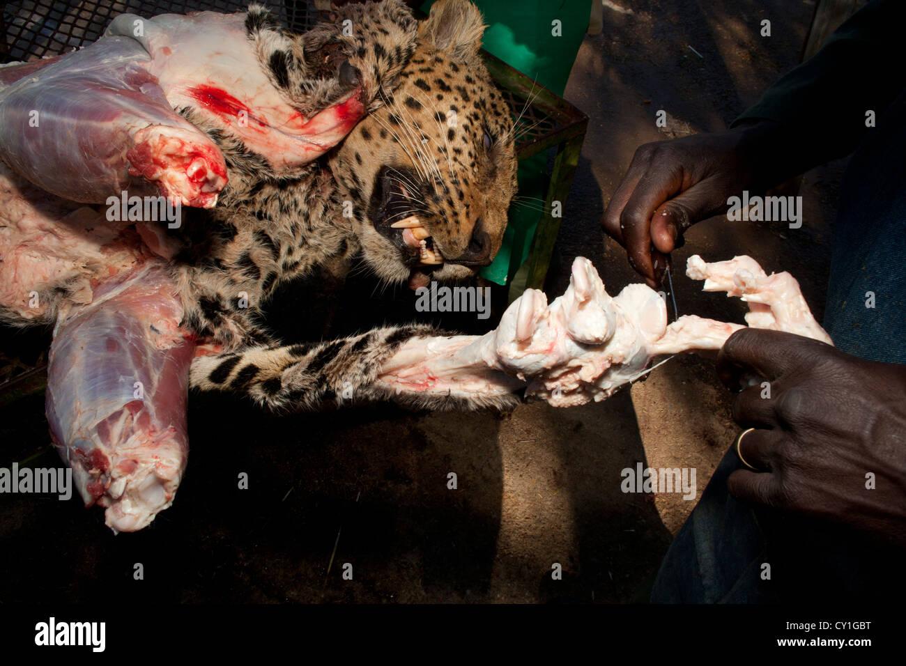 Präparatoren. Jäger aus den USA und Deutschland Wildtiere zu schießen und Dinge, die es als Trophäe Stockbild