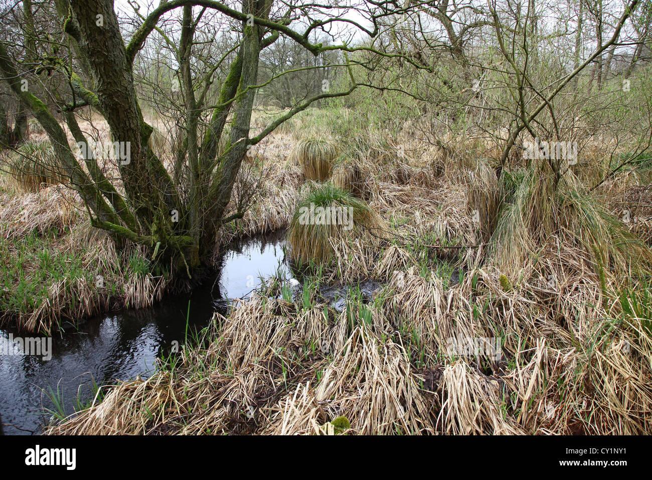 Schläger-Segge (Carex Stricta) bei Jacksons Niederwald Staffordshire England UK Stockfoto
