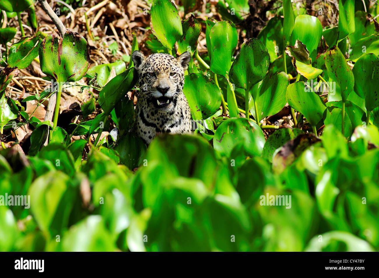 Jaguar an den Ufern des Flusses Cuiabá Pantanal von Mato Grosso in Brasilien Zustand. Stockbild