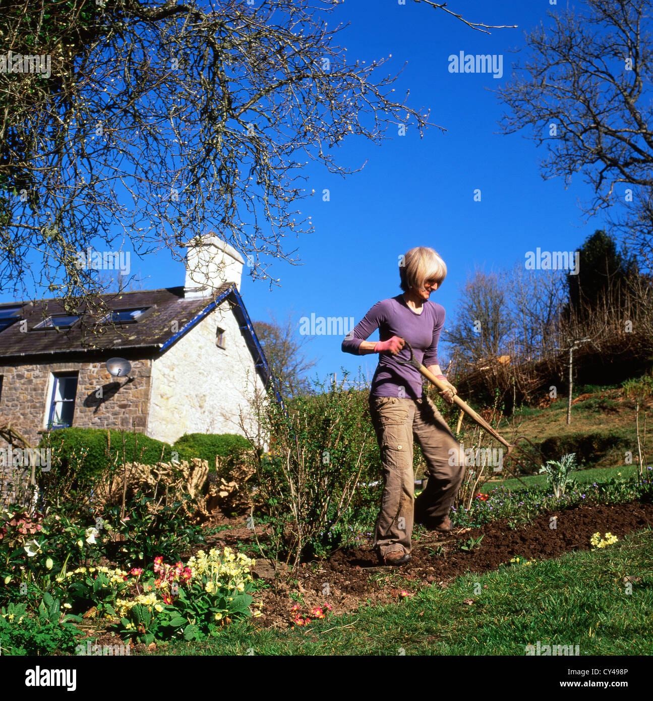 Frau arbeitet in einer schrägen Obst und Gemüsegarten Graben mit einer Gabel im Frühjahr Carmarthenshire Stockbild