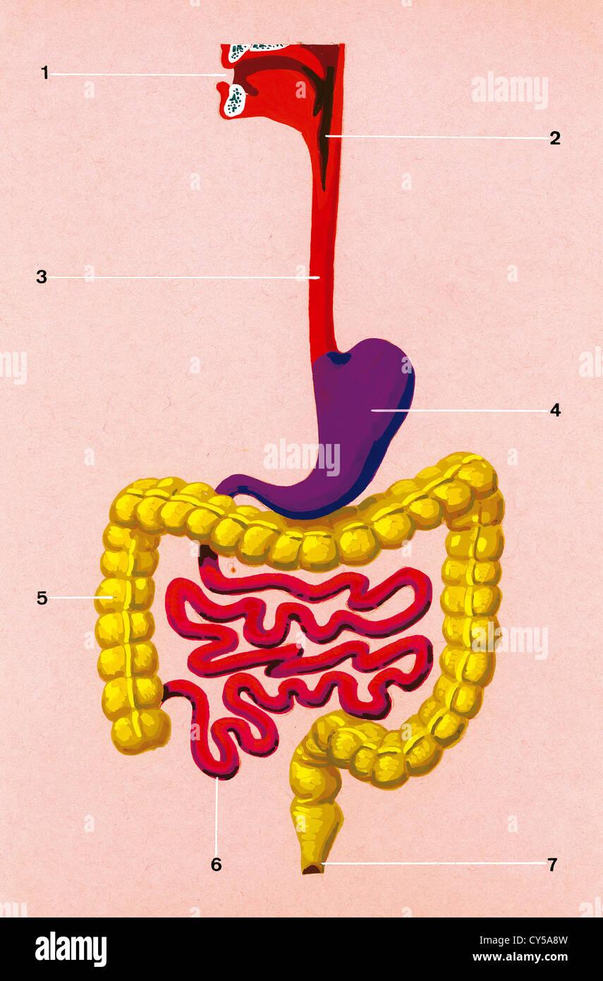 Verdauungssystem. Schematische Zeichnung von der Position der Organe ...