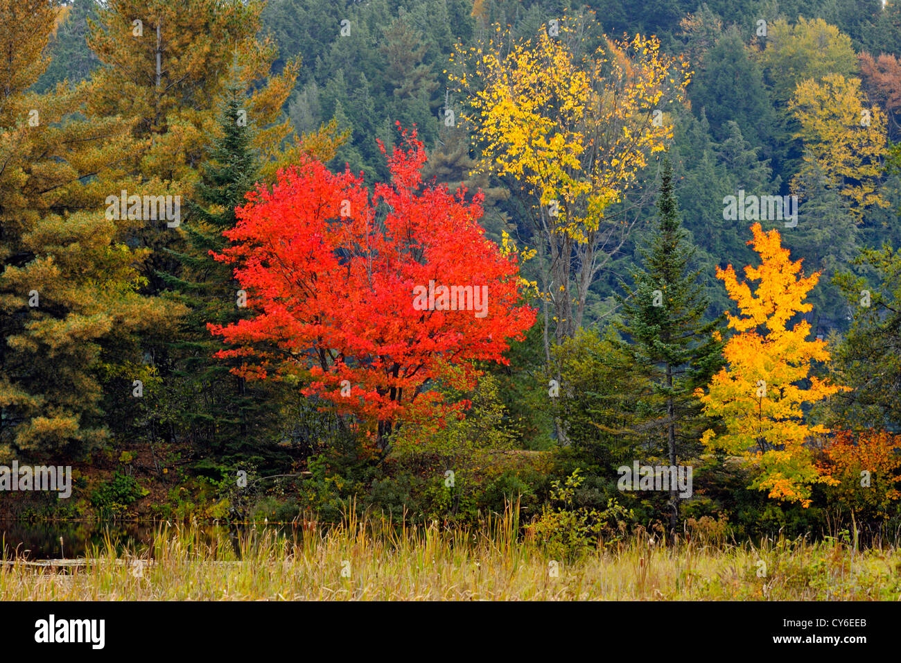 ein roter ahorn baum in herbstf rbung unter fichte und kiefer b ume algonquin provincial park. Black Bedroom Furniture Sets. Home Design Ideas