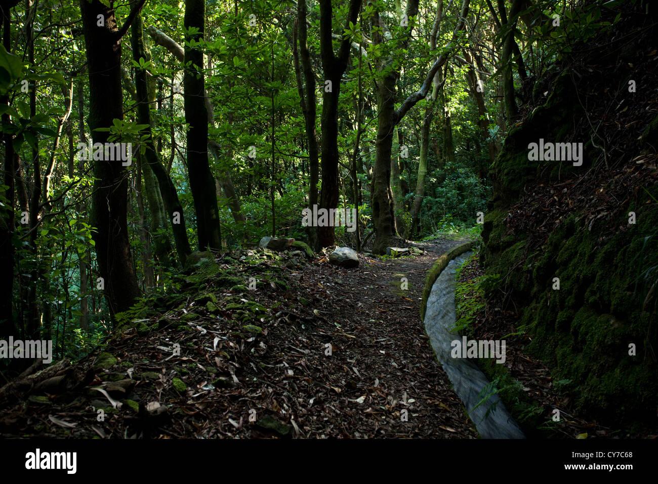 Eine Kurve entlang der Levado Moinho Bewässerungskanal in dichten Lorbeerwald. Stockbild