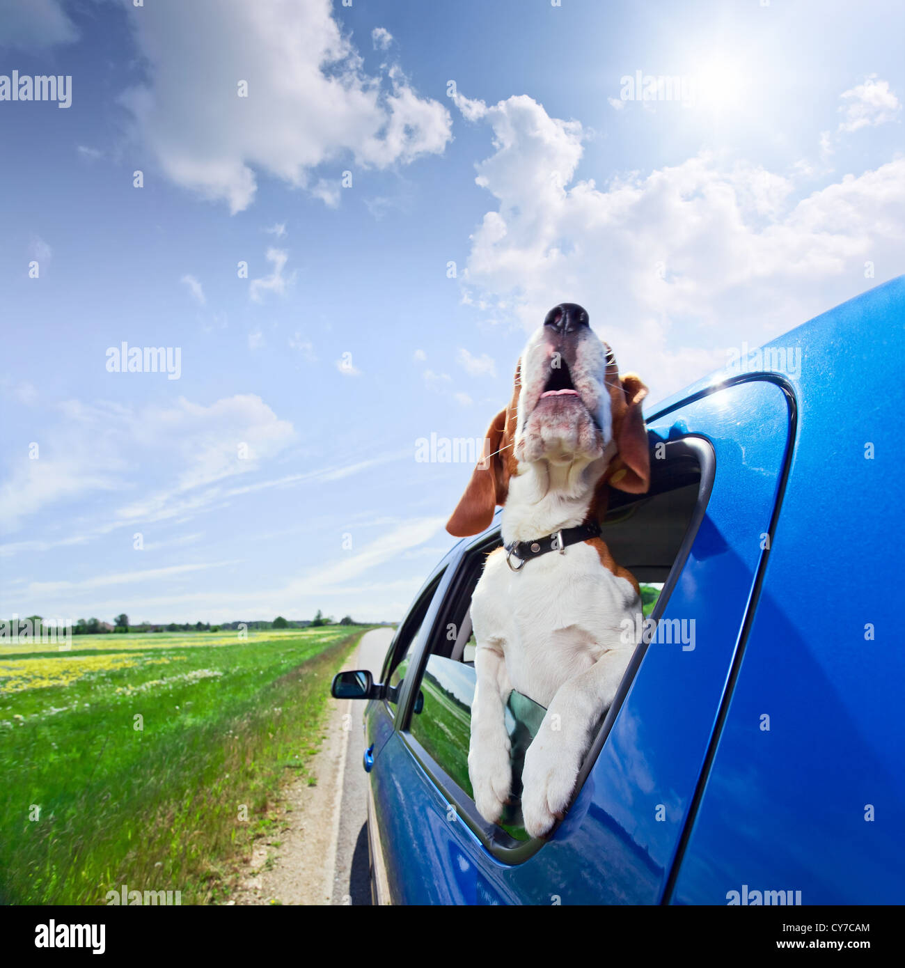 Die süße Beagle reist in das blaue Auto. Stockbild