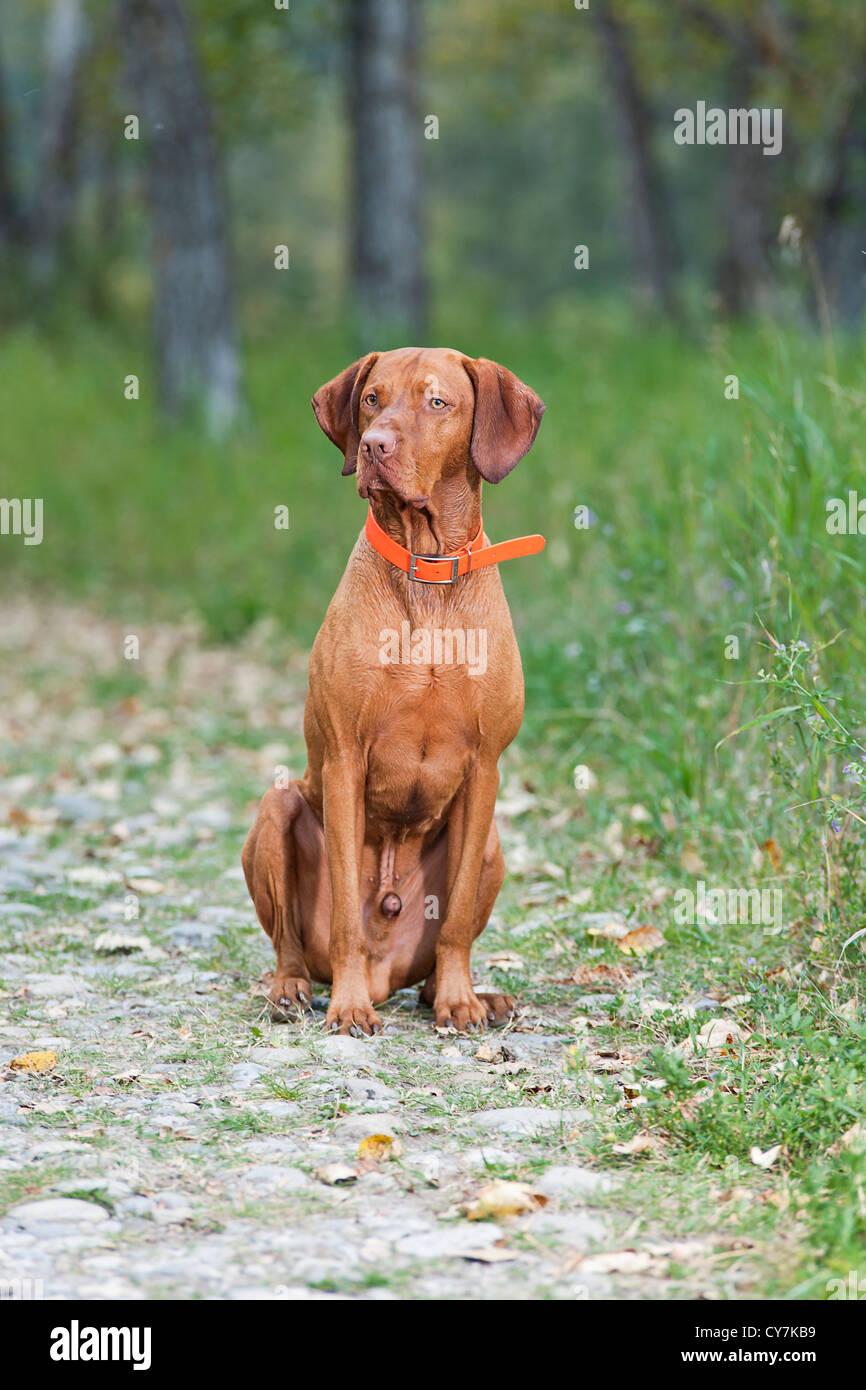 Hund Gehorsam Ausbildung sit Stockbild