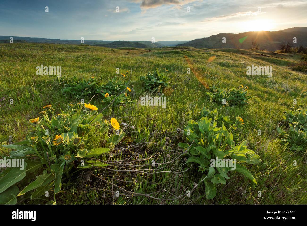 Sonnenaufgang über Wildblumen auf Rowena Plateau, Tom McCall Wildblumen zu bewahren, Rowena, Oregon, USA Stockbild