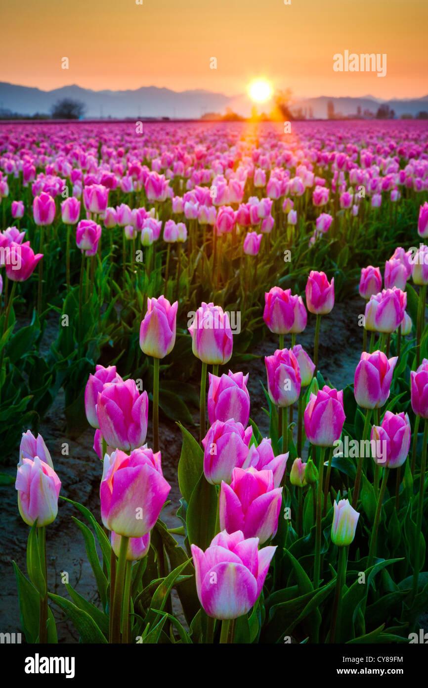 Tulpenfelder bei Sonnenaufgang im Skagit Valley in Mount Vernon, Washington, während die jährliche Tulpenfest Stockbild