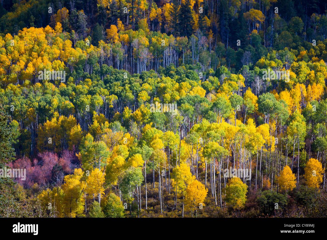 Espen am Hang in den San Juan Mountains von Colorado Stockbild