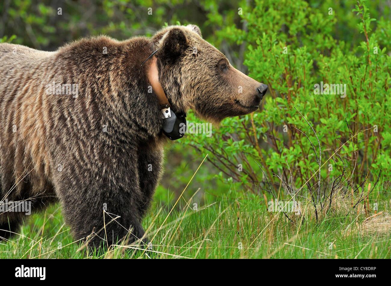 Eine Seitenansicht eines wild Grizzly-Bären mit einem Tracking-Kragen. Stockbild