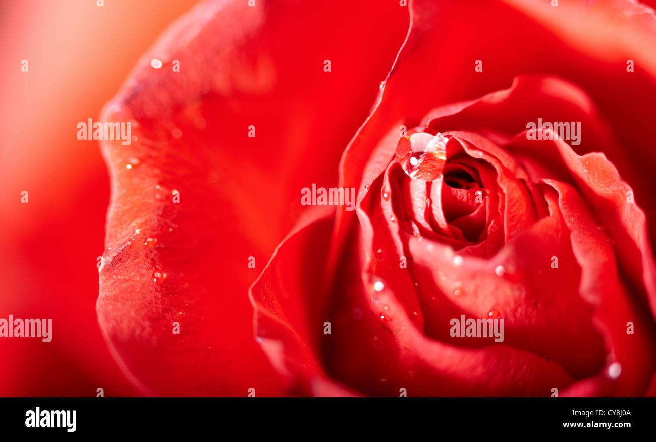 rote Rosenblüten mit Wassertropfen. abstrakt Stockbild