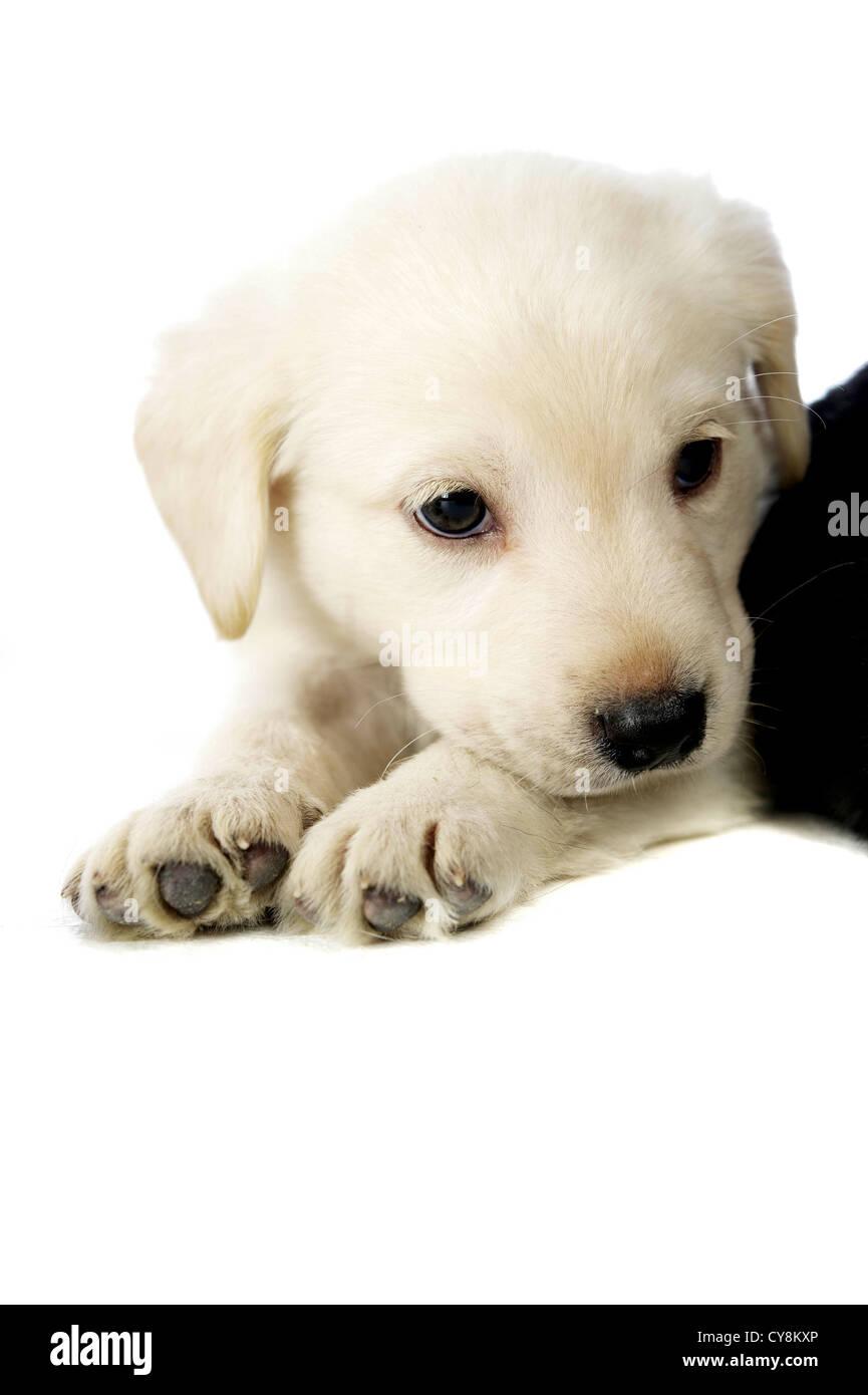 Labrador Welpe Niedlich Kleine Schläfrige Junge Müde Schwarz