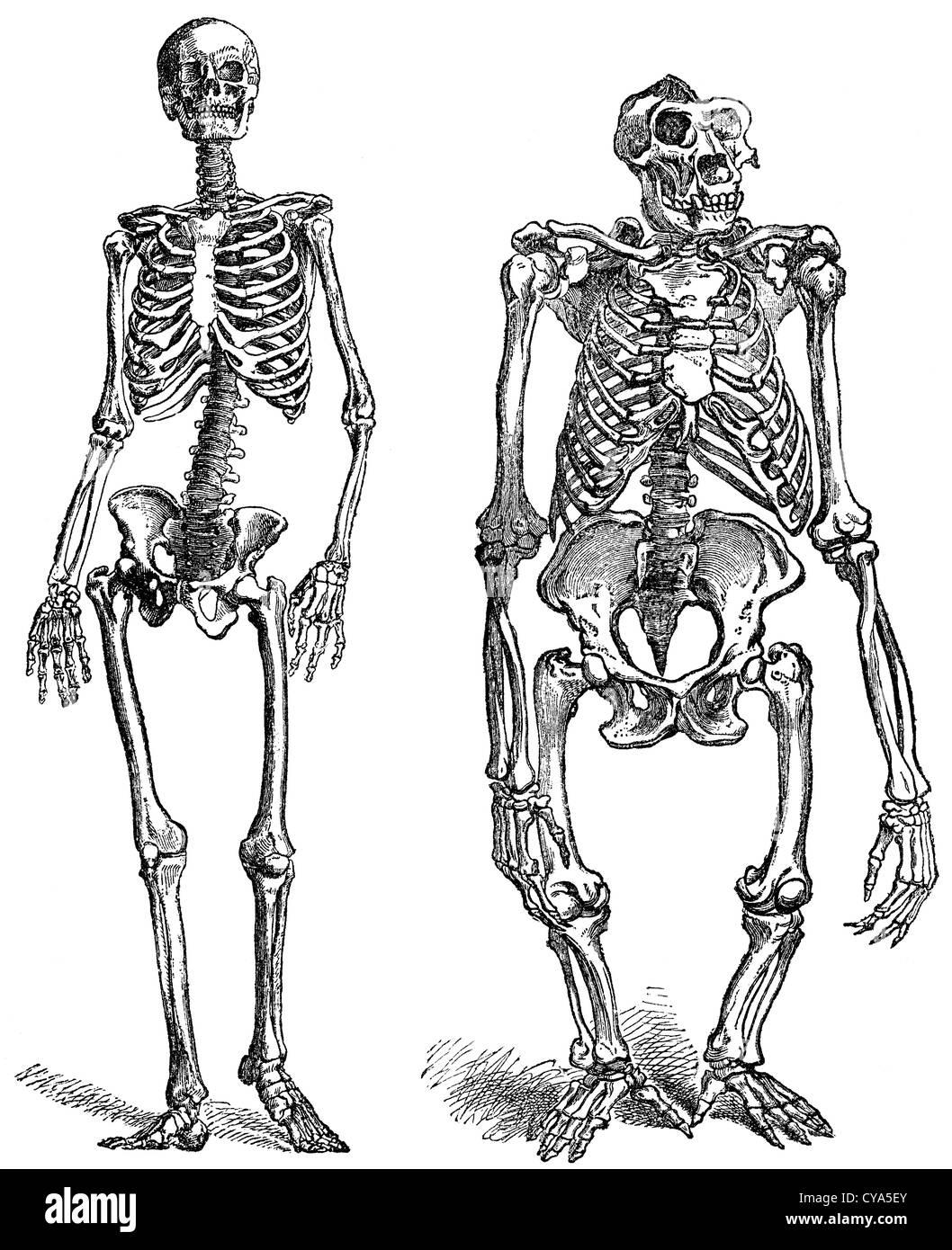 unterschied skelett mann und frau