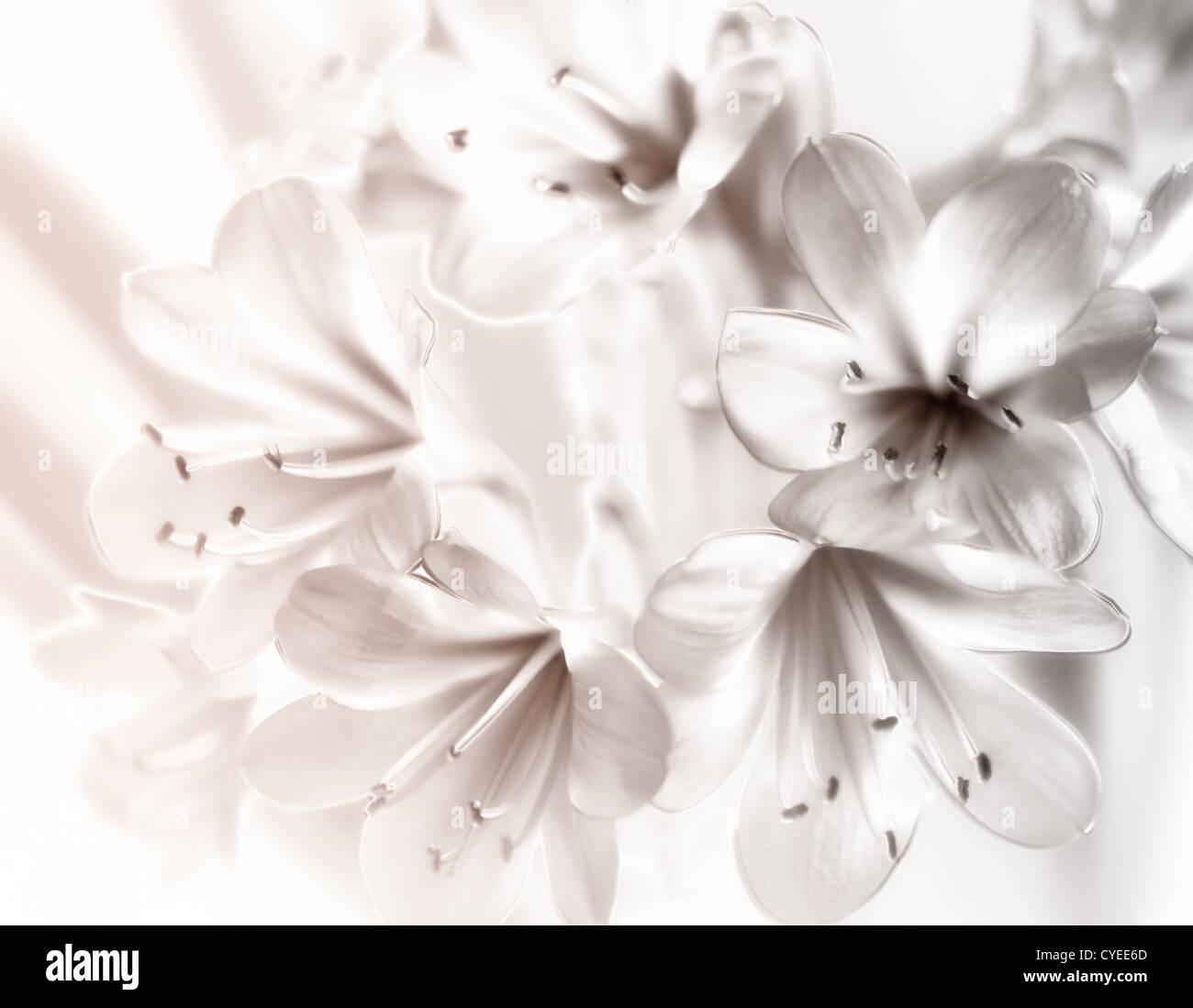 Clivia Miniata Blumen Schwarz Weiss Foto Gefarbt Stockfoto Bild
