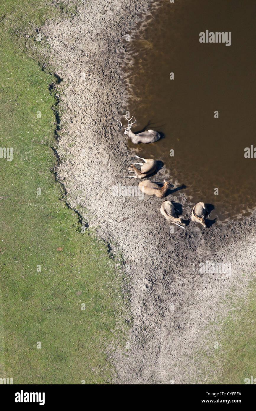 Die Niederlande Hilvarenbeek. Wildlife Zoo Safaripark Beekse Bergen genannt. Vietnamesische Sika Hirsche ruht. Luft. Stockbild