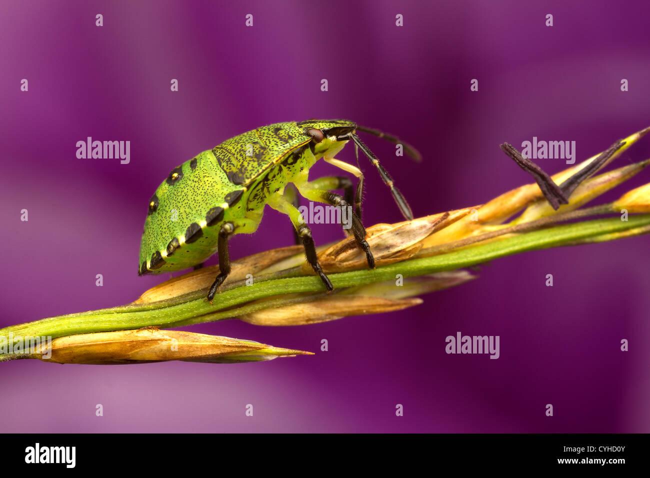 Ein Schild Bug (Pentatomoidea) Stockbild
