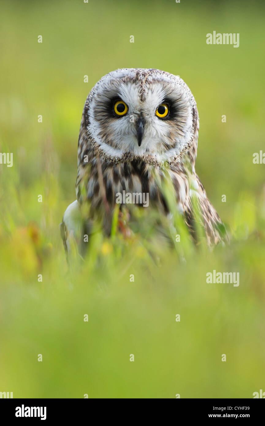 Kurze eared Eule (Asio Flammeus) lange Gras anzeigen leuchtende gelbe Augen Stockfoto