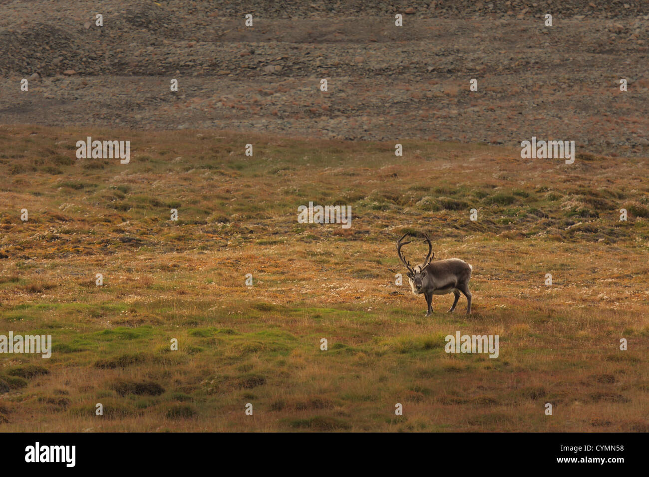 Einsamer Elch im Feld.  Horizontal gerahmten Schuss. Stockbild