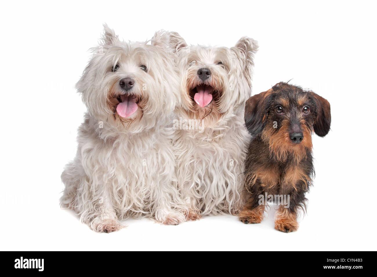 Wire Haired Terrier Stockfotos & Wire Haired Terrier Bilder - Seite ...