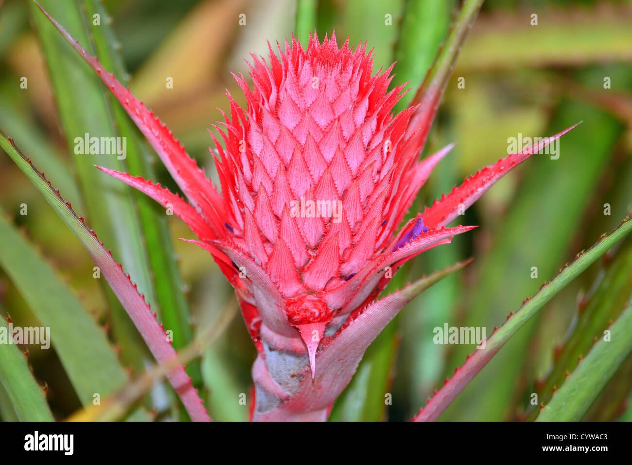 ananas-blume, ananas comosus, oahu, hawaii, usa stockfoto, bild