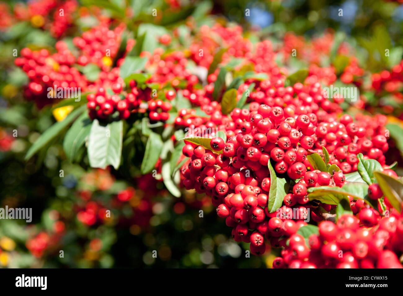 Rote Beeren der Eberesche bzw. Vogelbeerbaum, im Herbst fallen, UK, Europa Stockbild