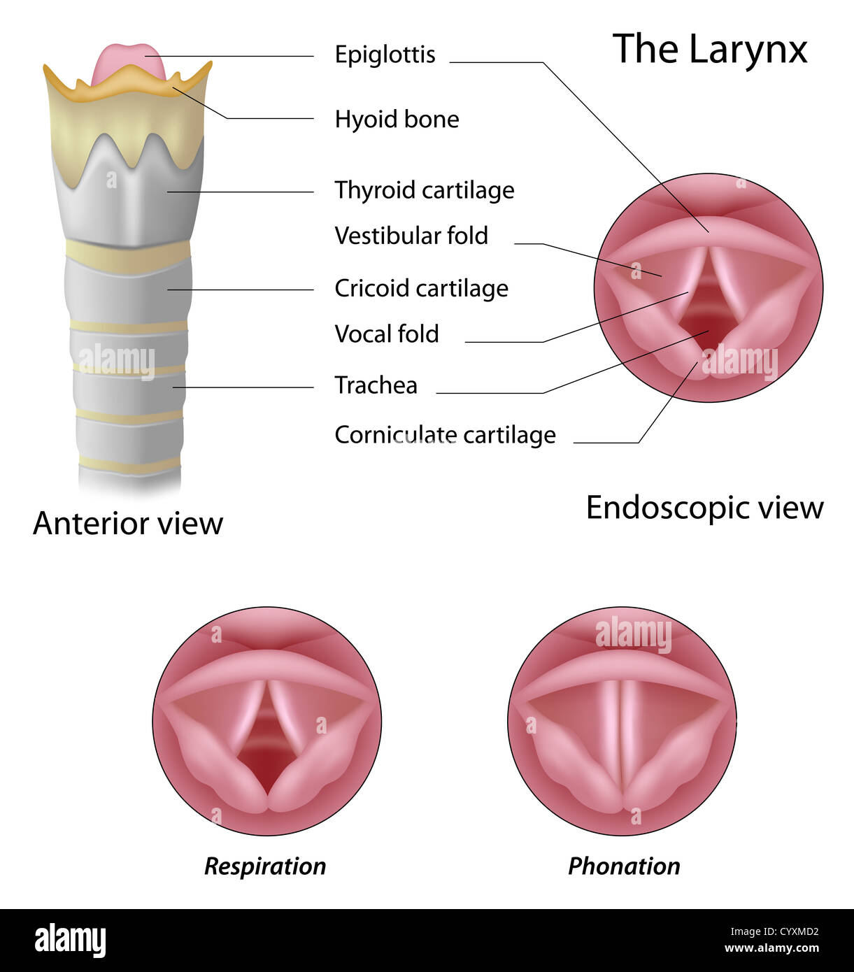 Vocal Cords And Larynx Stockfotos & Vocal Cords And Larynx Bilder ...