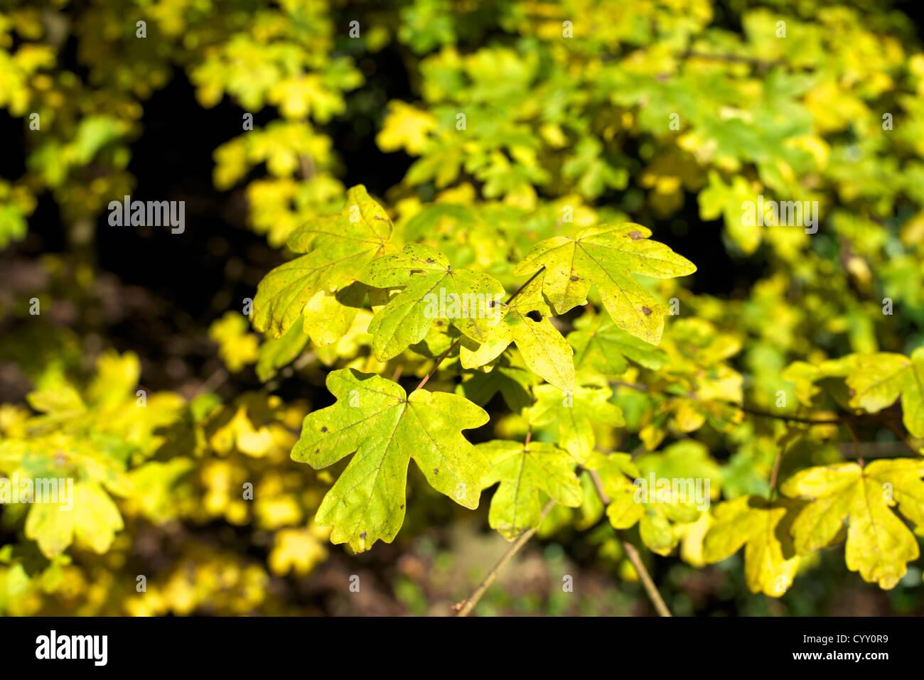 Field Maple Stockfotos & Field Maple Bilder Alamy
